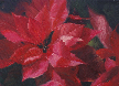 kendra-burton-art-poinsettia-passion-lg